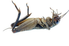 насекомое сверчка черепашки Стоковое фото RF