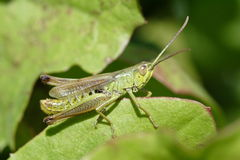 насекомое сверчка Стоковое фото RF