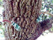 Насекомое цвета Lanternfly Pyrops candelaria черепашки насекомого на плодоовощ дерева Стоковые Фотографии RF