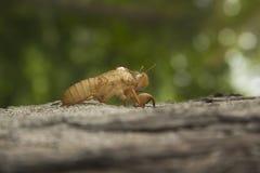 Насекомое цикады перелиняя на дереве в природе стоковые фотографии rf