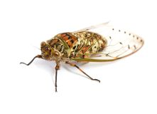 Насекомое цикады Стоковое Изображение RF