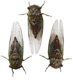 Насекомое цикады Стоковые Фото