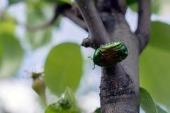 Насекомое экзотического bronzovka жука одичалое в стиле акварели изолированное на ветви Стоковые Изображения RF