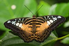 насекомое 006 бабочек Стоковые Фотографии RF