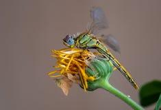 Насекомое Dragonfly отдыхая на желтом цвете завяло цветок стоковая фотография