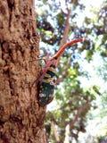 Насекомое Lanternfly Pyrops candelaria черепашки насекомого на плодоовощ дерева Стоковые Изображения