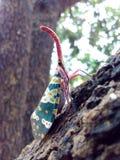 Насекомое Lanternfly Pyrops candelaria черепашки насекомого на плодоовощ дерева Стоковое Изображение