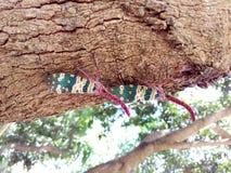 Насекомое Lanternfly Pyrops candelaria черепашки насекомого на плодоовощ дерева Стоковая Фотография