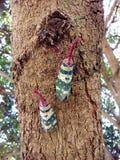 Насекомое Lanternfly Pyrops candelaria черепашки насекомого на плодоовощ дерева Стоковое фото RF