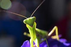 Насекомое mantis, конец-вверх Стоковое Фото
