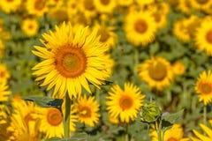 Насекомые в поле солнцецвета Стоковая Фотография RF