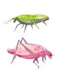 Насекомые как листья Розовый и зеленый кузнечик Стоковые Изображения