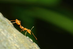 Насекомые, муравьи Стоковое Фото