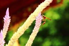 Насекомые, оси, оса на цветке Стоковые Фотографии RF