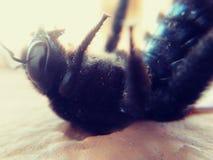 Насекомые путают пчела крыла Стоковая Фотография