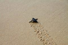 Насиженная морская черепаха выходя следам ноги в влажный песок на его путь ` s в море стоковая фотография rf