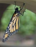 насиженный монарх заново стоковое фото