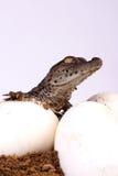 насиживать крокодила стоковое изображение