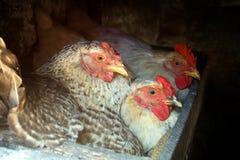 насиживать куриц представил 3 Стоковые Изображения