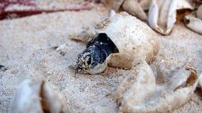 Насиживать морской черепахи младенца Стоковая Фотография