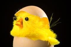 насиживать яичка цыпленока Стоковое Фото