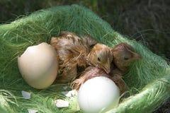 насиживать яичка цыпленка Стоковая Фотография