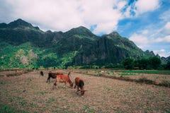 Наслаждаться сельской местностью vieng vang в Лаосе Очень peacefull окружая вне занятого города Ослаблять с коровами стоковое фото rf