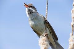 Настоящая камышевка певчей птицы птицы большая камышовая сидит на bulrush, тростнике или cattail на солнечном весеннем дне в Евро стоковые фотографии rf
