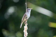 Настоящая камышевка певчей птицы птицы большая камышовая сидит на bulrush, тростнике или cattail на солнечном весеннем дне в Евро стоковые изображения