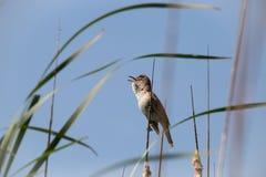 Настоящая камышевка певчей птицы птицы большая камышовая сидит на bulrush, тростнике или cattail на солнечном весеннем дне в Евро стоковые изображения rf