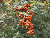 Настоящие ягоды вися от лозы Стоковая Фотография RF
