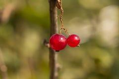 настоящий красный цвет Стоковое Фото