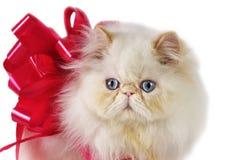 настоящий момент персиянки кота Стоковые Фото