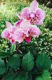 Наслаждение орхидеи Стоковая Фотография