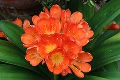 Натальное цветение лилии, центризованное с листьями стоковая фотография