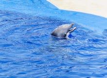 Натренированный дельфин в бассейне аквапарк Стоковое Изображение