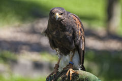 Натренированный орел стоковое изображение rf