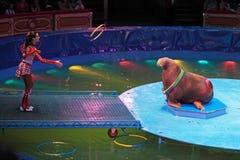 натренированный walrus Стоковое Фото