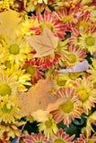 Натюрморт времени осени абстрактные цветки цвета хризантемы предпосылки Кленовые листы на верхней части marguerite стоковая фотография