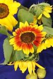 Натюрморт красивого букета солнцецветов в вазе на голубой предпосылке Стоковая Фотография