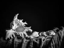Натюрморт от seashells в черно-белом Стоковые Фото