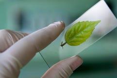 научный работник наблюдаемый листьями Стоковые Фото