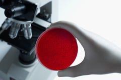 научный работник тарелки культуры клетки крови Стоковая Фотография