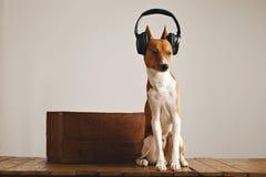 Наушники счастливой собаки basenji нося стоковые фотографии rf