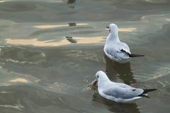 Находить еда от белой чайки плавая с солнечностью Стоковое Изображение RF
