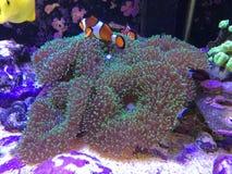 Находить Nemo на реальном садке для рыбы играя на коралле гриба стоковые изображения