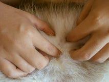 Находящ тикание в собаке вручную Стоковое Изображение RF