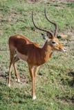 Национальный заповедник Кения Африка Maasai Mara газеля импалы Стоковое Фото