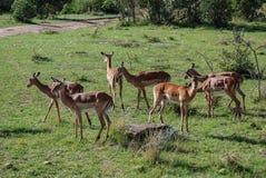 Национальный заповедник Кения Африка Maasai Mara газеля импалы Стоковое Изображение RF