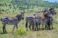 Национальный заповедник Кения Африка Maasai Mara зебр Стоковое Изображение